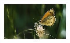 Revoir un printemps.../ Revisit a spring... (michel di Méglio) Tags: papillon farfale butterfly nikon 105mmmacro couleurs colors light lumière