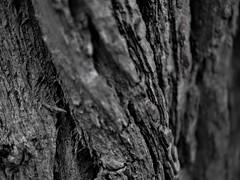 Tree Texture 2 (Uncle Papi Picanti) Tags: tree bark texture still life nature forest wood lumber olympus em10mkii em10markii lumix g25mmf17