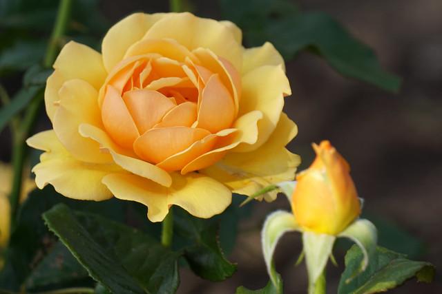 Обои желтый, роза, бутон картинки на рабочий стол, раздел цветы - скачать