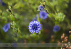 Swirly flower (borjamuro) Tags: flor flower bokeh swirly radial circular color colour blue azul morado purple verde green helios nikon d7100 tarragona montmell macro
