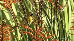 Orchard Oriole (Bob Gunderson) Tags: birds california fortmason icterids icterusspurius northerncalifornia orchardoriole orioles sanfrancisco