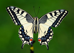 Papilio machaon (Charaxes14) Tags: biatorbágy lepidoptera insect kelebek insecta arthropoda arthropod lighting shadow green macro animal butterfly white yellow blue papilionidae papilionid swallowtail beautiful wonderful amazing fresh cloudy black stripes tail beauty nature bokeh summer papilio machaon