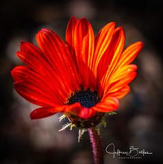 Flower- (Jeffrey Balfus (thx for 3.3 Million views)) Tags: sonyalpha saratoga california unitedstates us sonya6300mirrorless sonyilce6300 sony100400mmg sal100400f35g natureinfocusgroup fav20