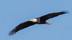 Big Wingspan (nickinthegarden) Tags: americanbaldeagle baldeagle eagle chehalisflats harrisonmillsbccanada