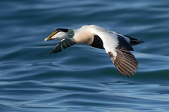 Eider duck (JS_71) Tags: nature wildlife nikon photography outdoor 500mm bird new winter see natur pose moment outside animal flickr colour poland sunshine beak feather nikkor wildbirds planet global national wing eye sea water d500