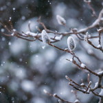Snow Clings to the Magnolia Outside My Window thumbnail