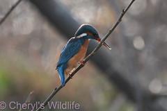 Female Kingfisher (Cheryl's Wildlife) Tags: wildlife nature suffolk rspb birds 2019 birdwatching nikon sigma photography east eastanglia naturereserve wildlifetrust riverlark weststow