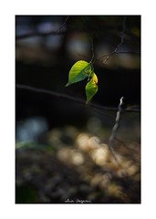 2018/12/1 - 6/15 photo by shin ikegami. - SONY ILCE‑7M2 / Carl Zeiss C Sonnar T* 1.5/50 ZM (shin ikegami) Tags: マクロ macro 井の頭公園 吉祥寺 autumn 秋 sony ilce7m2 sonyilce7m2 a7ii 50mm carlzeiss sonnar csonnar50mmf15 tokyo sonycamera photo photographer 単焦点 iso800 ndfilter light shadow 自然 nature 玉ボケ bokeh depthoffield naturephotography art photography japan earth asia