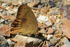 Common Brown Ringlet - Hypocysta metirius - Trial Bay -241018 (3) (Ann Collier Wildlife & General Photographer) Tags: butterfliesmothsandcaterpillars butterflies insects insect lepidoptera australia newsouthwales