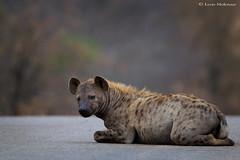 Matriarch Hyena (leendert3) Tags: leonmolenaar southafrica krugernationalpark wildlife nature mammals hyena ngc naturethroughthelens
