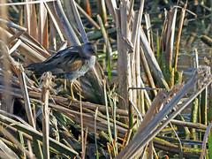 Polluela bastarda (Porzana parva) (4) (eb3alfmiguel) Tags: aves acuaticas gruiformes rallidae polluela bastarda porzana parva