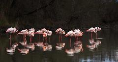 La vie en rose (4) (JLM62380) Tags: pink flamingos flamant rose camargue france eau oiseau nature lavieenrose