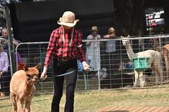 DSC_5102 (VAYG) Tags: vay vytec paraders aaa victorian alpaca association youth australian australia iar 2019 alpacas alpacalypse crystal cove profarma jay hall athena melbourne show redhill red hill