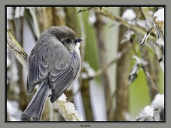 Bushtit (robinlamb1) Tags: nature outdoor animal bird bushtit psaltriparusminimus bush branch snow