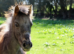 Foal / Poulain (Vulpe Photographie) Tags: animal nature poulain cheval horse foal france normandie eure canon eos 800d