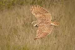 A Wing and a Prayer - Explore (alicecahill) Tags: ca california usa wild wildlife ©alicecahill sanluisobispocounty bird flying slocounty burrowingowl animal droh dailyrayofhope