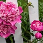 Stratford Ontario ~ Canada ~ Pink Peonies  ~ Botanical Garden thumbnail