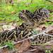 Eastern Diamondback Rattlesnake 2553