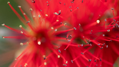 Callistemon (bottlebrush flower) (cnfrancas) Tags: arbust arbuste arbusto bottlebrush bush callistemon cespuglio espiga fiore fleur flor flora flore flower limpiatubos macro natura naturaleza nature red rojo rosso rouge spike tang tenone vermell