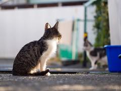 猫さん a cat (takapata) Tags: olympus em5 m60mm f28 neko cat 猫さん
