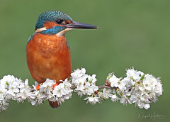 Kingfisher (Nigel Hodson) Tags: canon 1dxmkii 600mmf4ii kingfisher kingfishers wildlife wildlifephotography nature naturephotography birds birdphotography bird