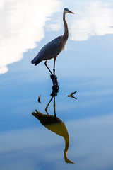 Balanced On A Stump (Robert F. Carter) Tags: lakeland florida unitedstates us circlebbarreserve cbbr birds herons greatblueheron greatblueherons ardeaherodias wildlife