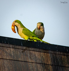 🇪🇸 Monk parakeets / Quaker parrots in the evening sun (vickyouten) Tags: monkparakeet quakerparrot nature naturephotography wildlife wildlifeinspain wildlifephotography nikon nikond7200 nikonphotography nikkor55300mm santasusanna barcelona spain vickyouten