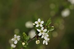 Sloe (Blackthorn) blossom (Deanster1983 who's mostly off) Tags: blackthorn sloe blossom bush tree shrub flower photo nature sloeblossom