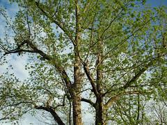 Beginning To Show Leaves. (dccradio) Tags: lumberton nc northcarolina robesoncounty outdoor outdoors outside nature natural park citypark raymondbpenningtonathleticcomplex penningtonathleticcomplex northeastpark april weekend saturday saturdaynight saturdayevening evening goodevening spring springtime hp hewlettpackard hpdsccb350 tree trees treebranch branch branches treebranches treelimb treelimbs sky eveningsky