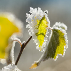 Frozen (Martin Bärtges) Tags: frozen frost ice winter nature natur naturfotografie naturephotography macro outside outdoor drausen colorful farbenfroh makro makrofotografie macrophotography