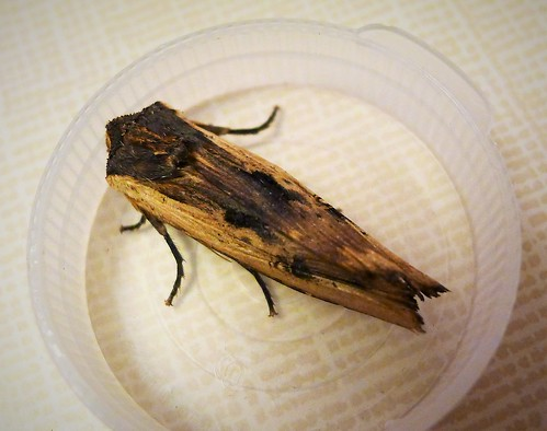 Red Sword-grass. Xylena vetusta.