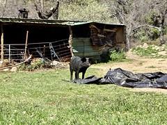 Sierra de Gredos 2019 (enemyke) Tags: sierradegredos sierradegredos2019 sierradegredosmarzo2019 2019 marzo spanje spain españa maart2019 marzo2019 patanegra varken pig cerdo arenasdesanpedrocandeleda