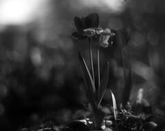 Tulip (Vidwatts) Tags: speedgraphic aeroektar ilfordorthoplus d76 springflowers