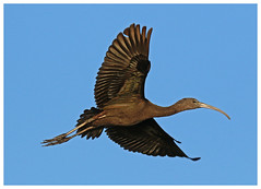 Glossy Ibis - Plegadis falcinellus (docsunny) Tags: glossy ibis plegadis falcinellus