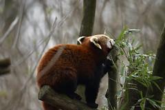 Roter Panda (Michael Döring - thx for 20.000.000 views) Tags: gelsenkirchen bismarck zoomerlebniswelt zoo roterpanda firefox afs600mm40e d7200 michaeldöring