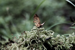 Butterfly (Eklandet) Tags: insect butterfly moss samsung nature naturelover naturelovers nordic sweden sverige closeupphotography