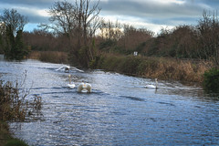 FIGHTING SWANS [ ROYAL CANAL BETWEEN BROOMBRIDGE AND ASHTOWN]-148319 (infomatique) Tags: birds swans fight wildlife nature water canal royalcanal canalwalk sony a7riii batis zeiss 135mmlens williammurphy infomatique fotonique ireland