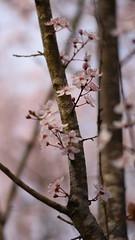 (Lucie Guinjard) Tags: nikon spring flowers