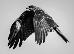 DSC_6530 (靴子) Tags: 黑白 單色 老鷹 黑鳶 基隆 海洋廣場 bw bnw eagle keelung d850 nikon 200500mm