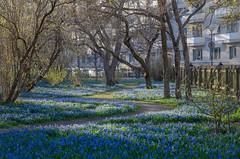 Small flowers (RdeUppsala) Tags: uppsala uppland flores blommor scilla sverige suecia sweden flowers paisaje park parque azul árboles trees träd ricardofeinstein city ciudad blue rektorsparken