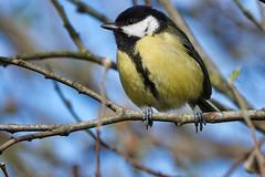 Great Tit (sumowesley) Tags: bird fauna greattit hamwall nature