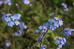 Spring Flowers (mcginley2012) Tags: forgetmenot spring2019 flowers nature blue green garden wildflower beauty myosotis