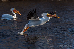 20190408-DSC_7238.jpg (GrandView Virtual, LLC - Bill Pohlmann) Tags: bird americanwhitepelican wisconsin wildlife waterfowl stcroixriver northhudsonwi