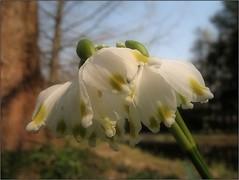 (Tölgyesi Kata) Tags: tavaszitőzike leucojumvernum springsnowflake tuzsonjánosbotanikuskert botanikuskert botanicalgarden withcanonpowershota620 spring nyíregyháza tavasz