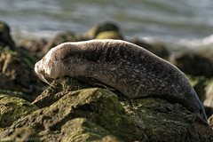 Common/harbour seal (RCB4J) Tags: ayrshire ayrshirecoast clydecoast firthofclyde rcb4j ronniebarron scotland sigma150500mmf563dgoshsm sonyilca77m2 art commonseal nature photography stevensonpoint waders wildlife phocavitulina harbourseal contrejour basking sunbathing rocks shoreline tidal weed