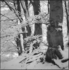 snow and trees (steve-jack) Tags: haaselblad 501cm 50mm cfi kodak trix 400 film 120 6x6 medium format perceptol epson v500