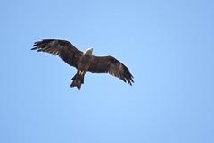 Milan noir (Marc ALMECIJA) Tags: oiseau bird aves vogel migration migracion détroit gibraltar estrecho bleu blue sky ciel sony rx10m3 tarifa espagne andalousie outdoor outside nature natur wildlife