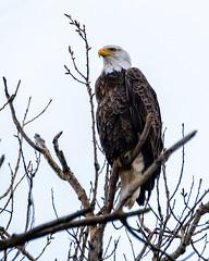 Bald Eagle #67 (lennycarl08) Tags: raptor birds bird birdofprey baldeagle sacramentonwr