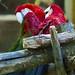 Birmingham Zoo 09-29-2017 - Scarlet Macaw 1