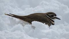 Killdeer in Snow (shesnuckinfuts) Tags: killdeer charadriusvociferus backyard kentwa shesnuckinfuts bird nature wildlife winter snow